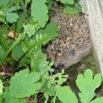 hedgehog!